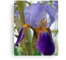 Bi-Colored Iris Canvas Print