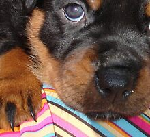 Rottweiler - Baby Face by taiche
