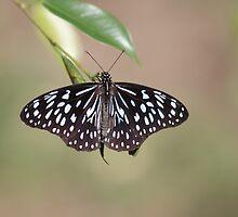 Blue Tiger Butterfly-7156 (Tirumala hamata) by Barbara Harris
