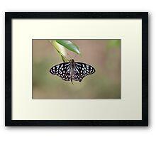 Blue Tiger Butterfly-7156 (Tirumala hamata) Framed Print