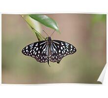 Blue Tiger Butterfly-7156 (Tirumala hamata) Poster
