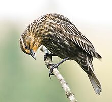 Female Redwing Blackbird by imarkimages