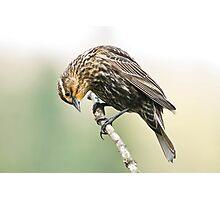Female Redwing Blackbird Photographic Print
