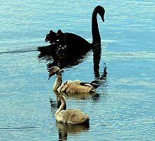 Swan Family by Tom Newman