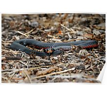 Red-bellied Black Snake [Pseudechis porphyriacus] Poster