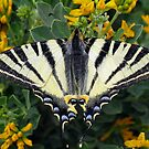 Scarce Swallowtail, Iphiclides Podalirius by taiche