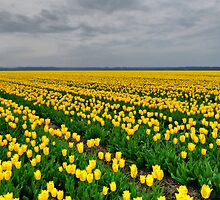 YELLOW,YELLOW & MORE YELLOW TULIPS  by Johan  Nijenhuis