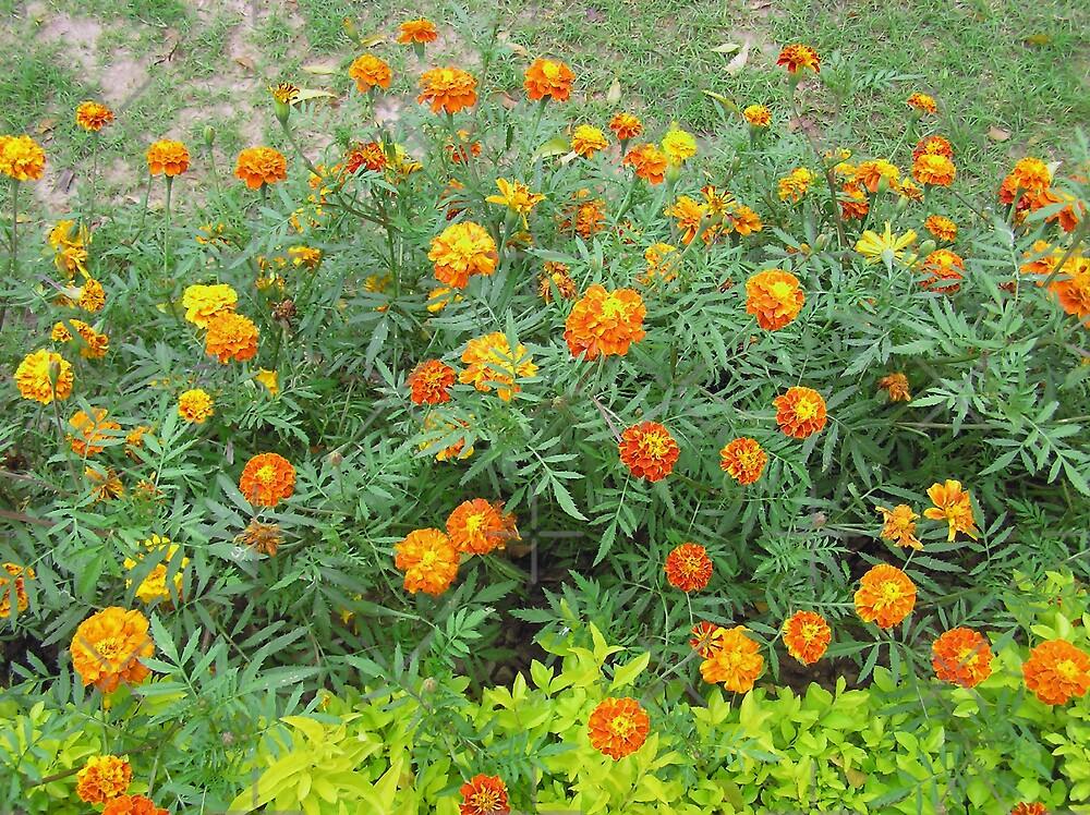 A bed of beautiful yellow and orange marigolds by ashishagarwal74