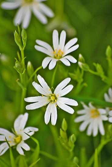 Wild Flowers - Stitchwort by Trevor Kersley