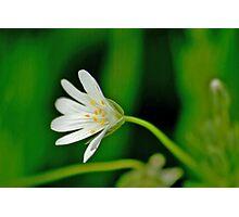 Wild Flowers - Stitchwort Photographic Print