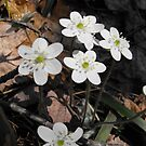Hepatica nobilis - White by Tracy Wazny