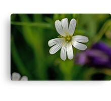 Wild Flowers - Stitchwort Canvas Print