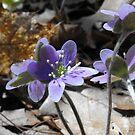 Hepatica nobilis-  Purple by Tracy Wazny
