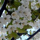 Cherry Blossom by hilarydougill
