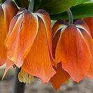 Fritillaria  Imperialis 2 by 29Breizh33