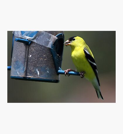 Bright Yellow Finch Photographic Print