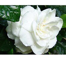 White Gardenia Photographic Print