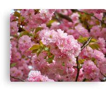 Cherry Bloosoms Canvas Print