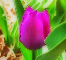 Purple Tulip in HDR (Orton effect) by Sanguine