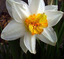 Daffodils by tonymm6491