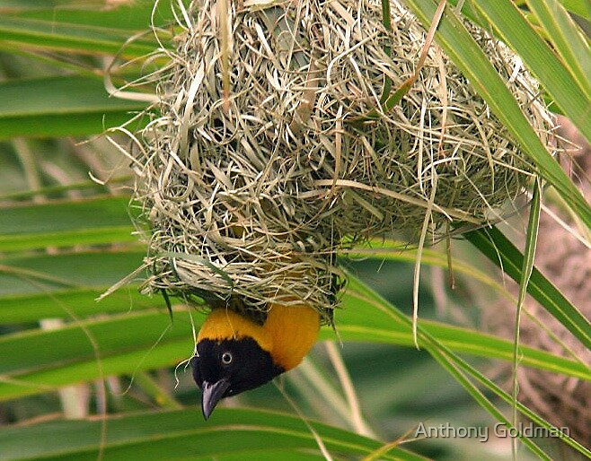 Lesser masked weaver in nest by jozi1