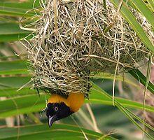 Lesser masked weaver in nest by jozi1