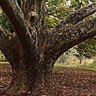 Leopard trunk tree in the park by myraj