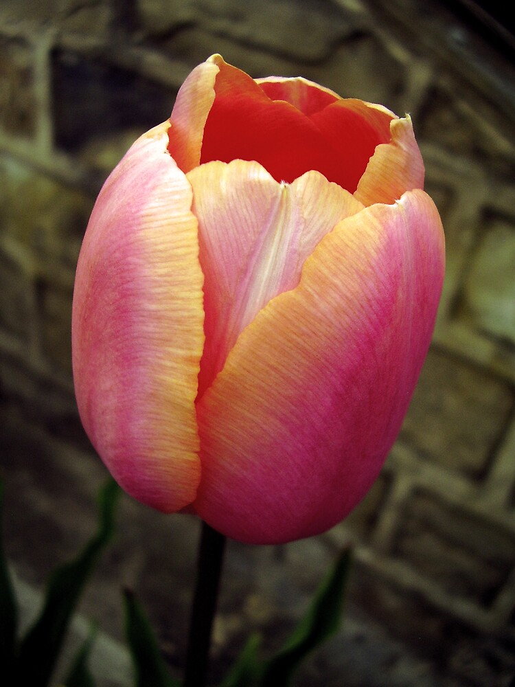 Tulip, multi by tonymm6491