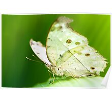 indian moon moth butterfly Poster