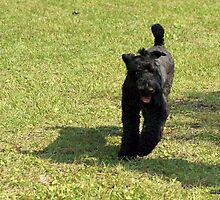 Special Kerry Blue Terrier by welovethedogs