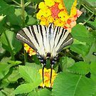 Scarce Swallowtail Feeding on Lantana by taiche
