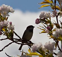 The Sparrow and The Blossom Tree by Chris Clark