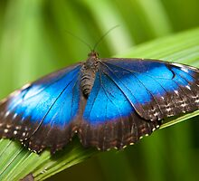 blue morpho butterfly by peterwey