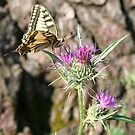 Scarce Swallowtail Butterfly and Thistle by taiche