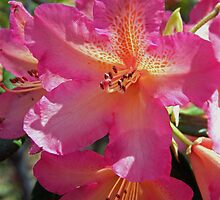 Vivacious Rhododendron ~ by Patty (Boyte) Van Hoff