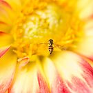 Little Bee Coming In For Landing On Dahlia by daphsam