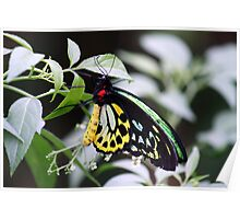 The Cairns Birdwing Butterfly Poster