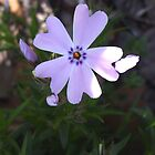 Purple Phlox by Melody Ricketts