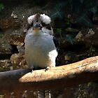Kookaburra...... by lynn carter