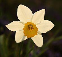 Sunny Daffodil by Olga Zvereva