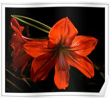 Red Lily Poster