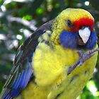 Green Rosella by Marilyn Harris