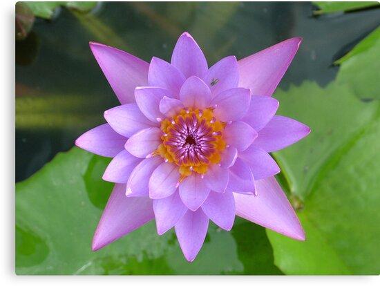 Fresh Water Lilly Flower by AravindTeki