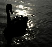 Black Swan by Rob Beckett