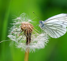 Green Veined White  by Simon Pattinson