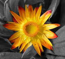 My first selective color flower  by barnsis