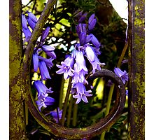 rustic bluebells .... Photographic Print