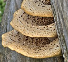 Bracket Fungus by Jeff VanDyke