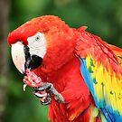 Scarlet Macaw by Teresa Zieba