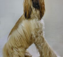 Awesome Afghan Hound by welovethedogs